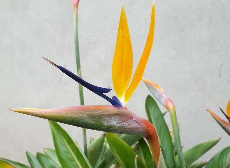 Bird of paradise in the National Botanic Gardens, Dublin