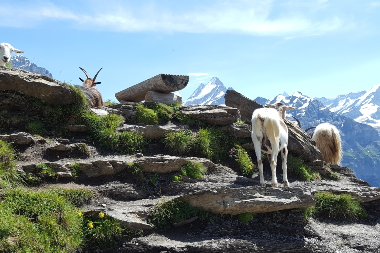 Mountain goats at Grindelwald-First in the Bernese Oberland, Switzerland