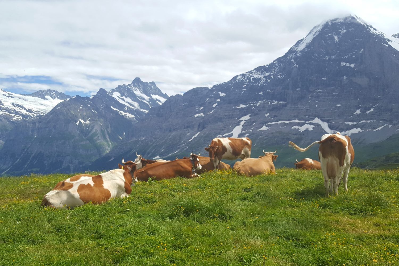 Alpine cattle at Mannlichen, above the resort of Wengen in Switzerland